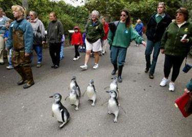 A half dozen Magellanic penguin chicks waddle through the San Francisco Zoo while making their way to Penguin Island where they joined 40 adult penguins in San Francisco, Friday, Aug. 23, 2002. An outbreak of chlamydia at the San Francisco Zoo has left a dozen penguins dead, according to a spokesman. The bacteria, which was most likely transmitted to the birds by an infected seagull, is spread through airborne saliva or other bodily fluids, said Bob Jenkins, the zoo's director of animal care and conservation. A similar disease is sexually transmitted in humans. (AP Photo/Eric Risberg, File)