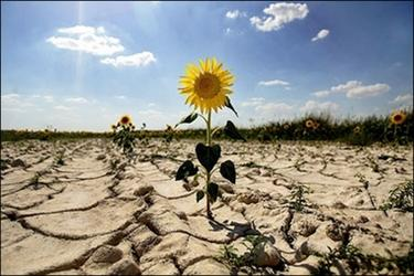 Drought in Spain : Sunflowers grow in a dry field on Villa-Viejas' farm land near Cuenca. (AFP/Pedro Armestre)<br />