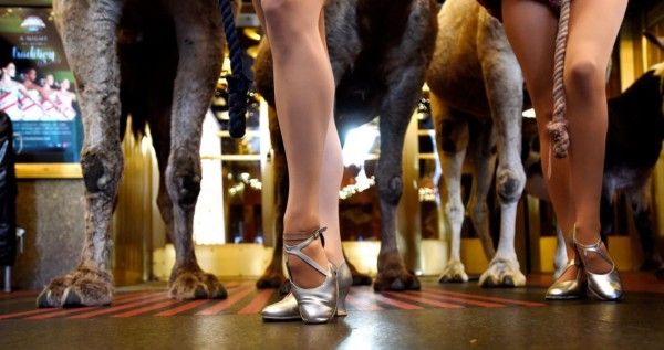 Members of the Rockettes pose with camels in front of Radio City Music Hall as the animals arrive for the first day of rehearsals for their part in the living nativity scene that is part of the Radio City Christmas Spectacular show in New York, New York, November 5, 2015. The camels and other animals appear on stage during the show which runs from November 13, 2015 - January 3, 2016. (Justin Lane/EPA)